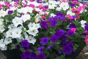 580xNx9591-Petunia-hybrides_jpg_pagespeed_ic_OtWMZ_jc02